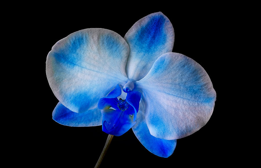 Orchid Photograph - Blue Orchid Bloom by Susan Candelario