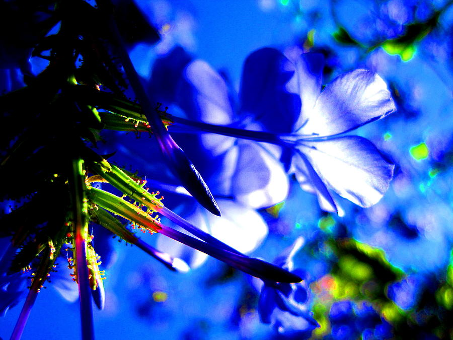 Blue Flower Photograph - Blue Plumbago Flowers by Catherine Natalia  Roche