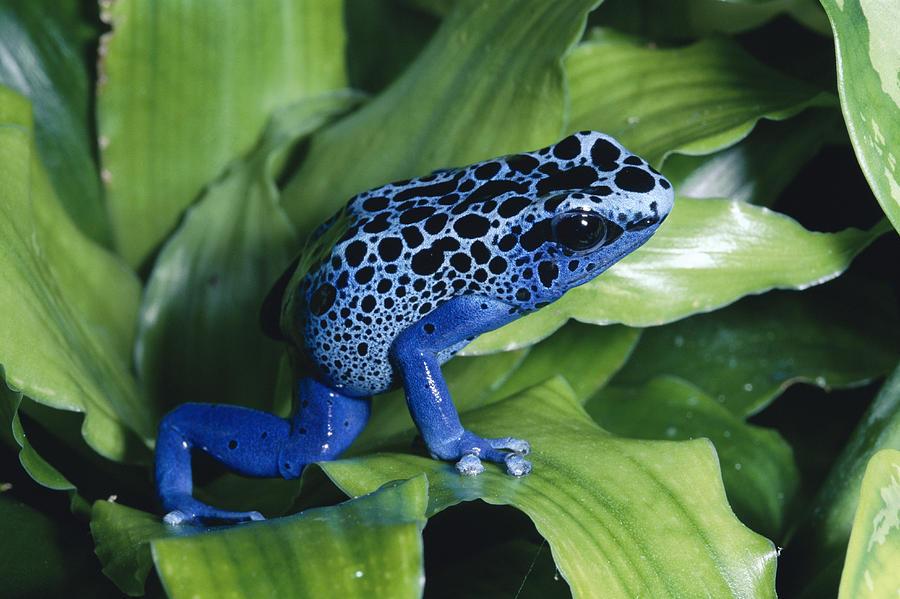 Blue Poison Dart Frog Dendrobates Photograph by Michael & Patricia Fogden