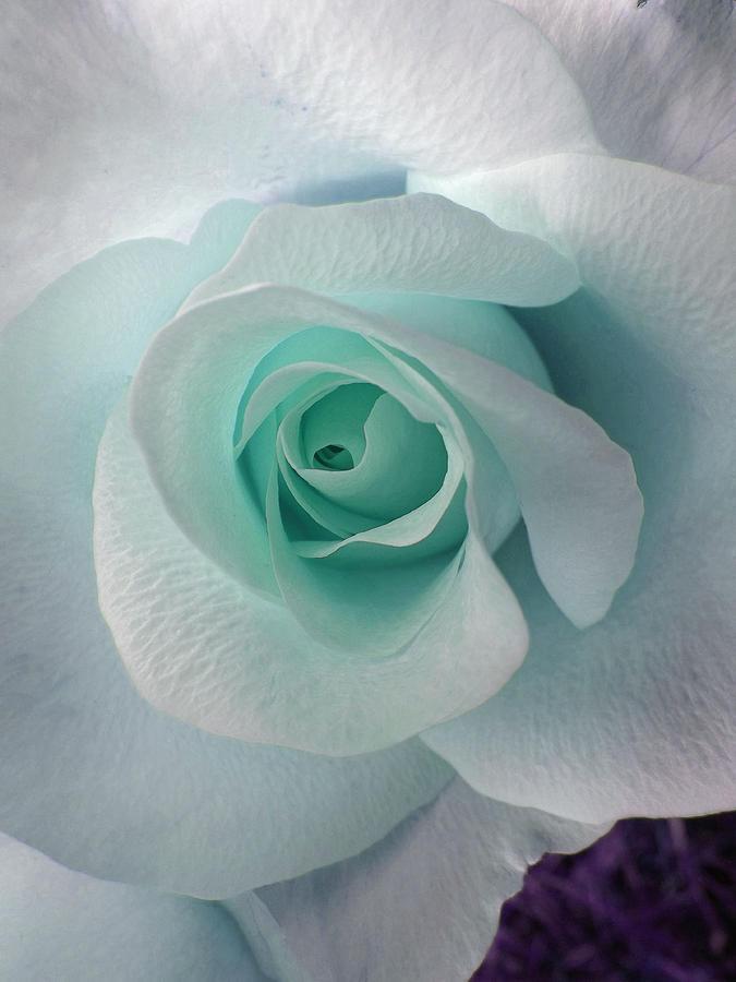 Rose Photograph - Blue Rose by Robin Hewitt