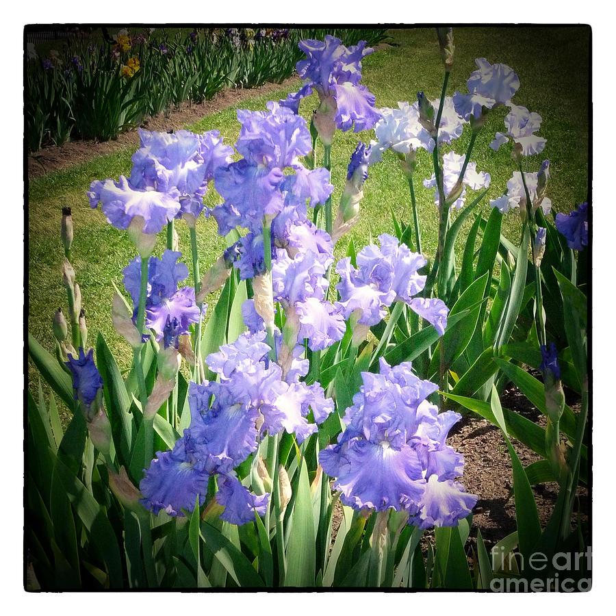 Iris Photograph - Blue Ruffles 2 by Susan  Lipschutz