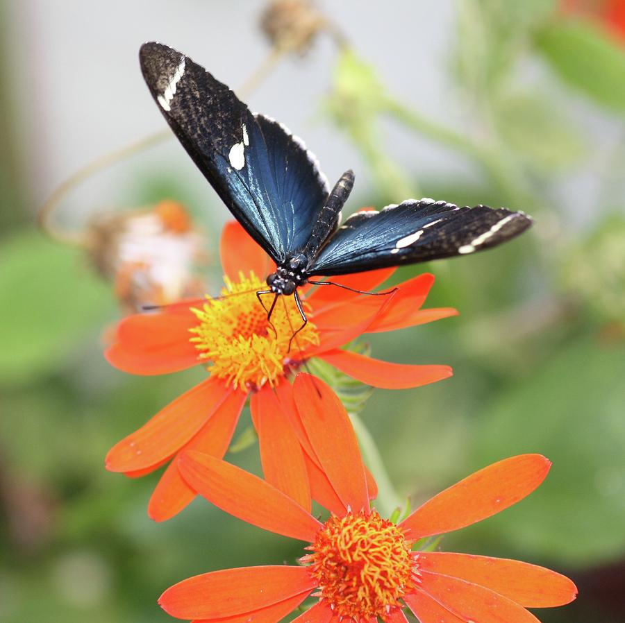 Mexican Sunflower Photograph - Blue Sara On Orange Sunflower by Andrea  OConnell