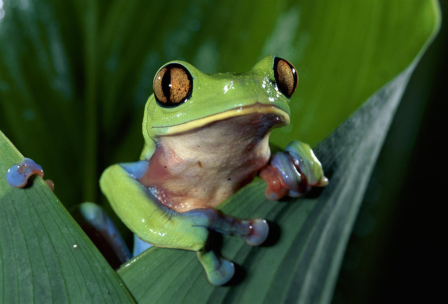 Mp Photograph - Blue-sided Leaf Frog Agalychnis Annae by Michael & Patricia Fogden