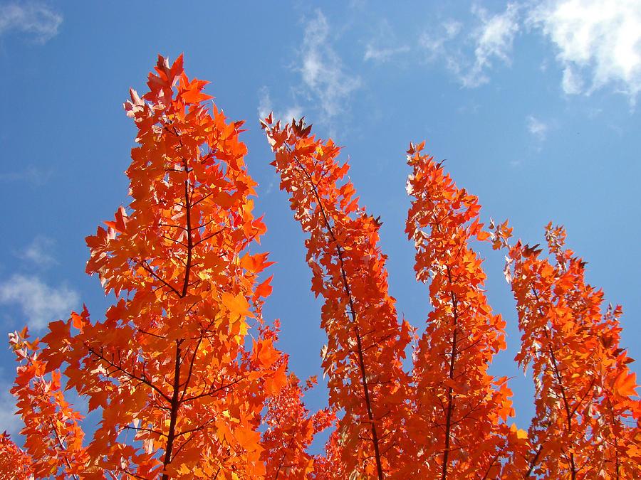 Blue Sky Art Prints Orange Autumn Leaves Photograph By