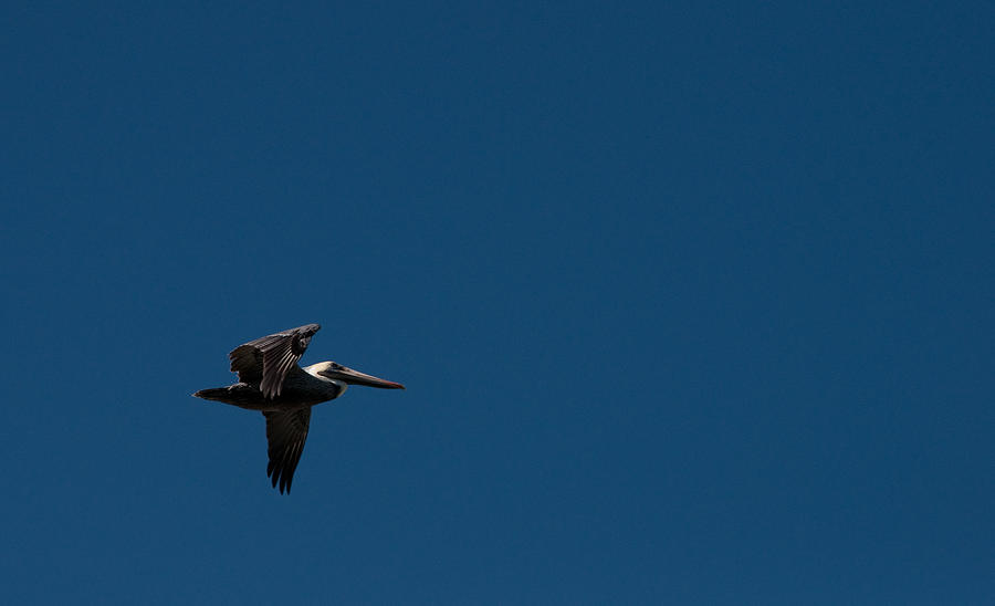 Pelican Photograph - Blue Sky Pelican by Christine Stonebridge