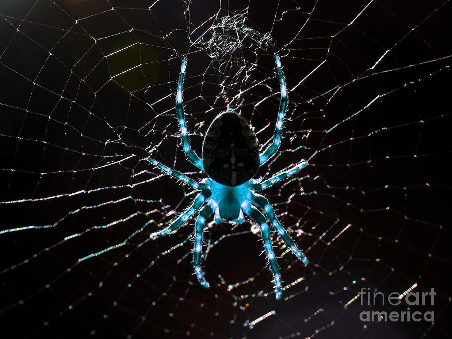 Spider Photograph - Blue Spider by Wingsdomain Art and Photography