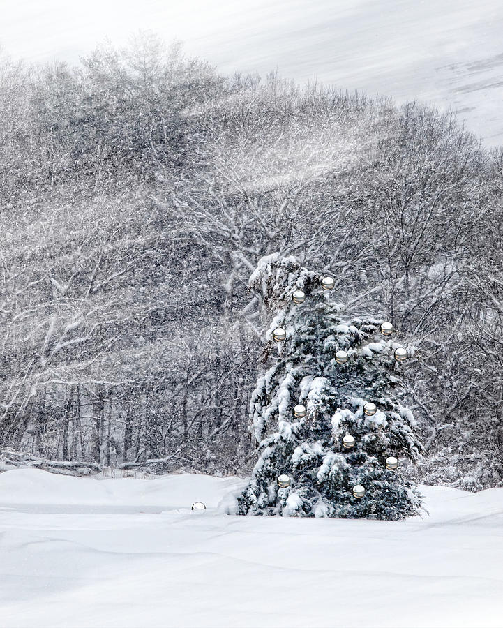 Holiday Photograph - Blue Spruce by Robin-Lee Vieira