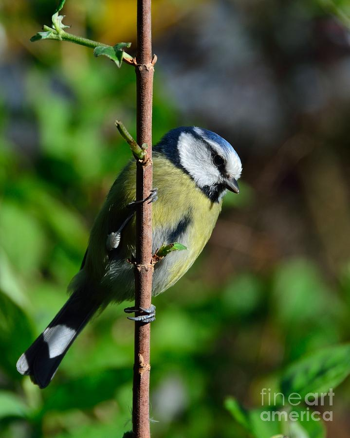 Blue Tit Photograph - Blue Tit by Alan Clifford