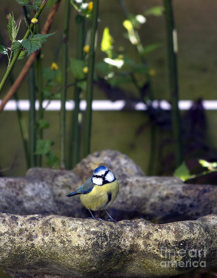 Animal Photograph - Blue Tit On Bird Bath by Jane Rix