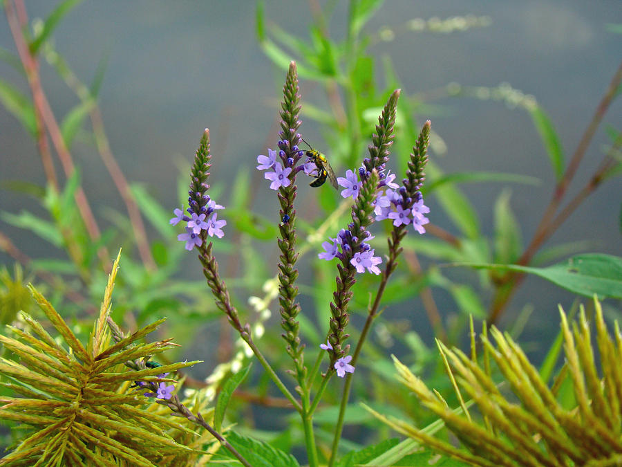 Blue Vervain Photograph - Blue Vervain - Verbena Hastata by Mother Nature