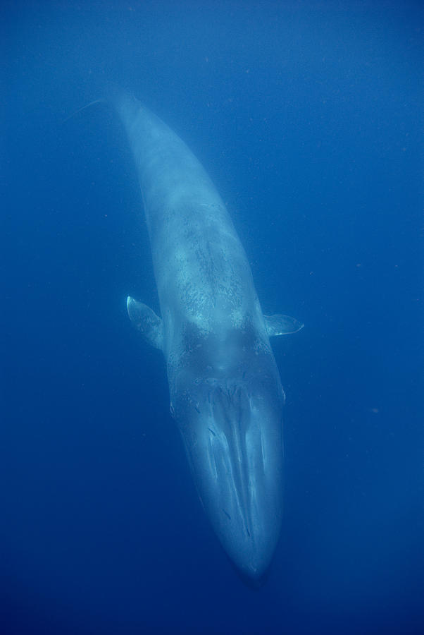 Blue Whale Baby Swimming Costa Rica Photograph by Flip Nicklin