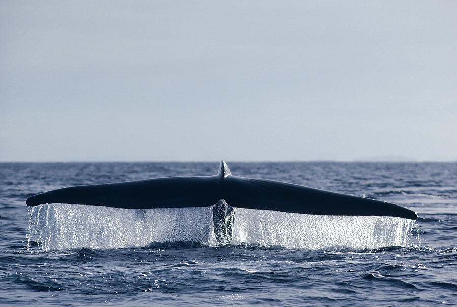 Blue Whale Tail  In Sea Of Cortez Mexico Photograph by Flip Nicklin