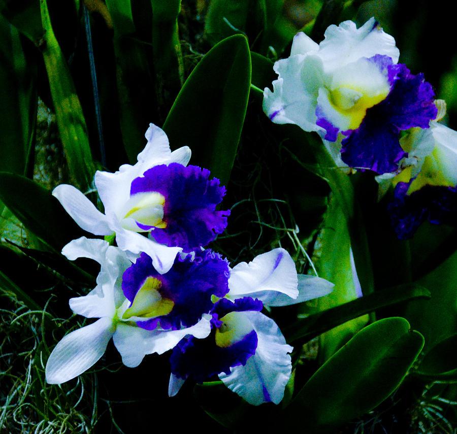Blue white cattleya photograph by chua chinleng for Orchidea cattleya