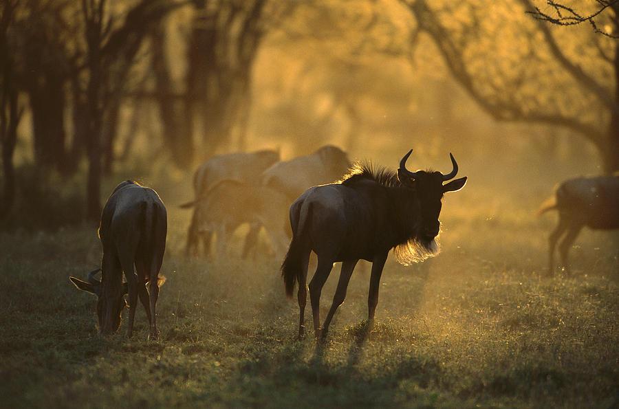 Blue Wildebeest At Sunset Ngorongoro Photograph by Suzi Eszterhas