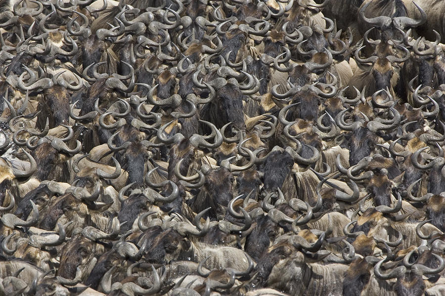 Blue Wildebeest Herd Gathers To Cross Photograph by Suzi Eszterhas