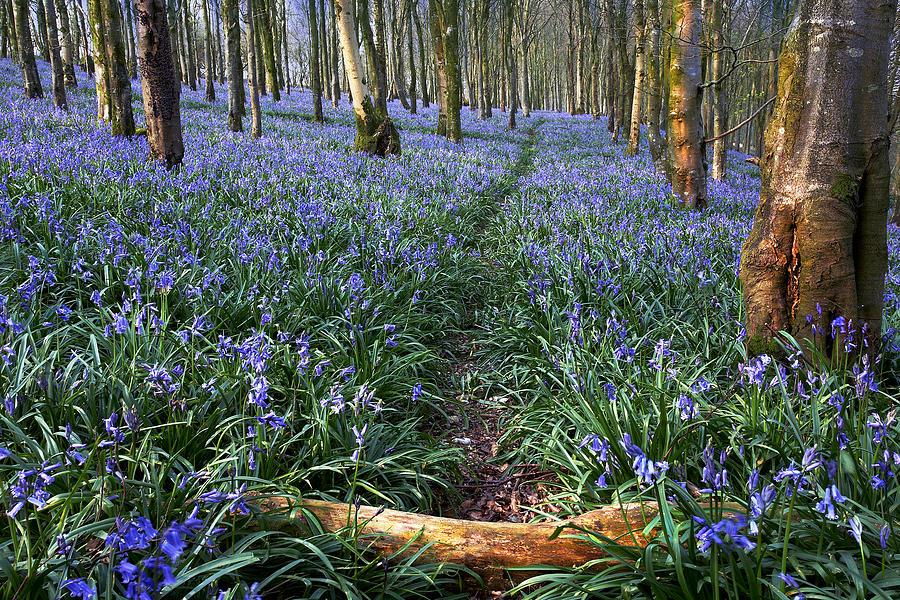 Bluebells Photograph - Bluebell Path by Kris Dutson