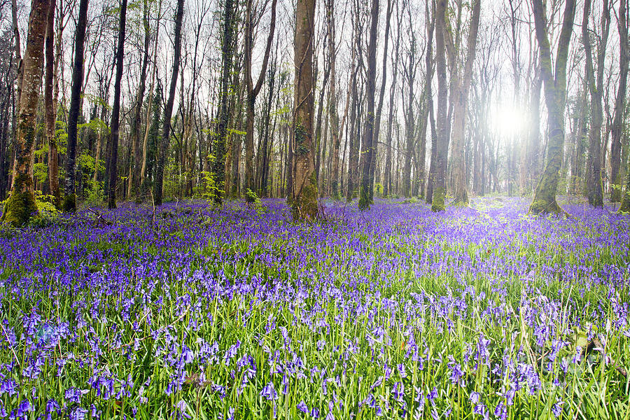 Bluebell Woods Kildare Ireland Photograph by Catherine MacBride