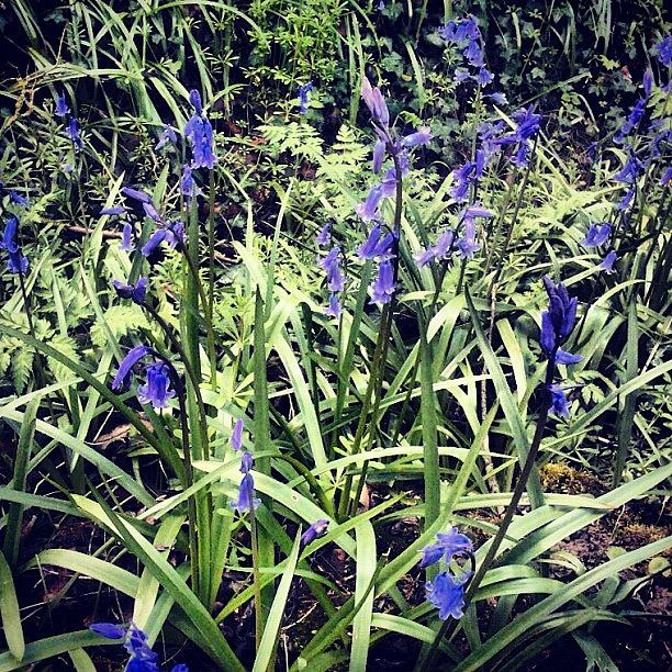 Bluebells Photograph - Bluebells by Nic Squirrell
