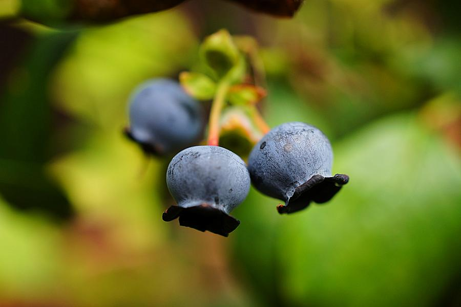 Blueberries Photograph - Blueberries by Beth Akerman