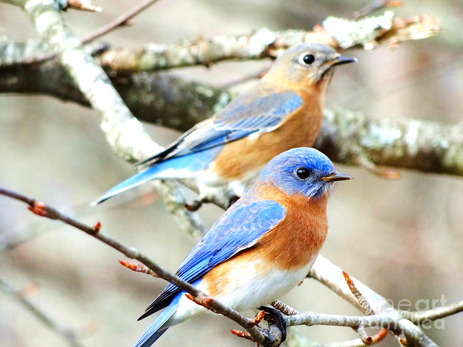 Bluebirds Photograph - Bluebird Couple by Crystal Joy Photography