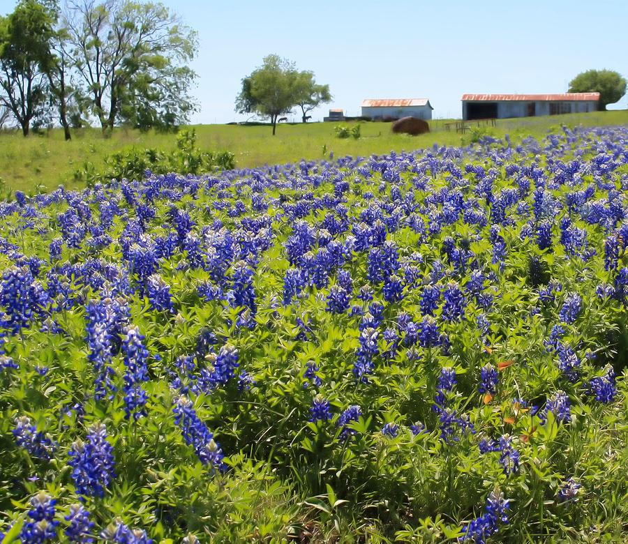 Farm Photograph - Bluebonnet Farmhouse by Lynnette Johns