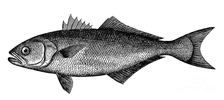 Biology Photograph - Bluefish by Granger