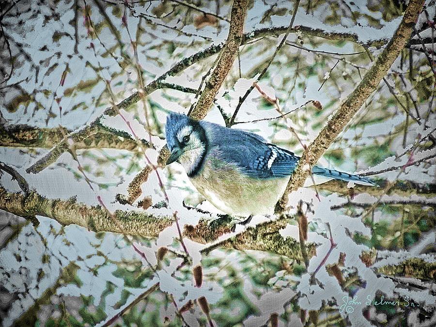 Bluejay Digital Art - Bluejay In Birches by John Selmer Sr