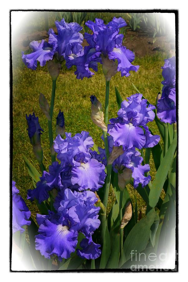 Iris Photograph - Bluest Of Blue 2  by Susan  Lipschutz