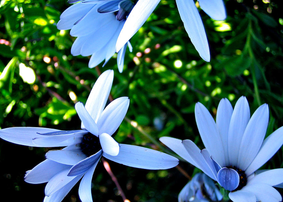Flowers Photograph - Bluey Twinkles by HweeYen Ong