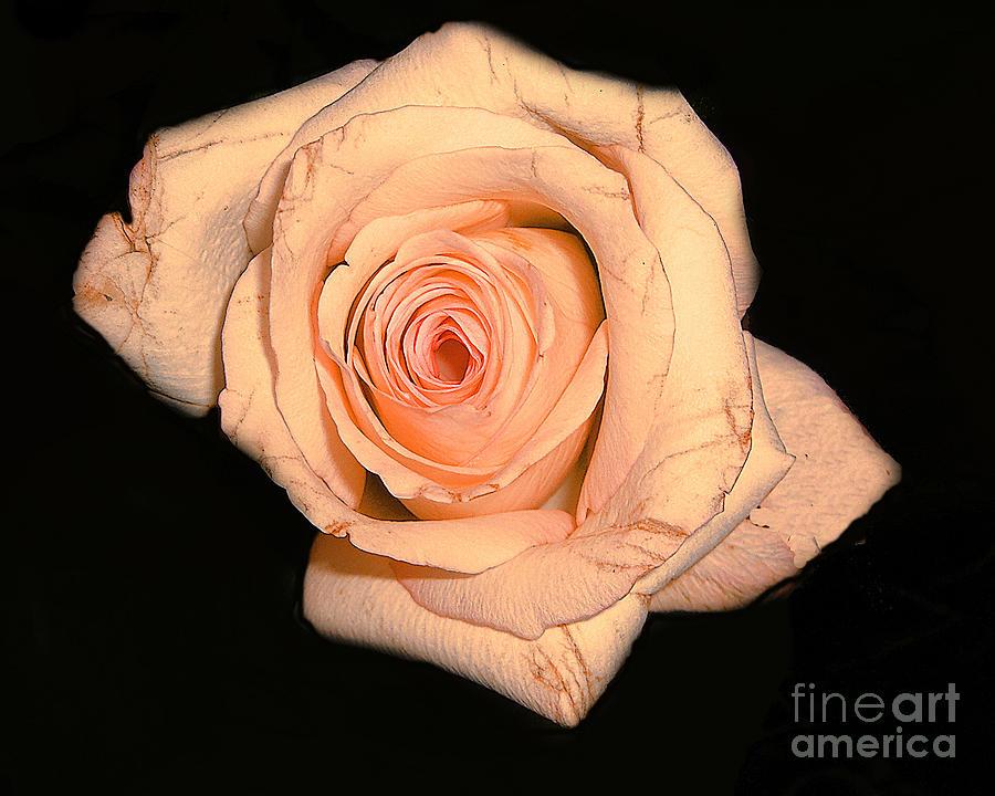 Flower Photograph - Blush Rose 2 by Merton Allen