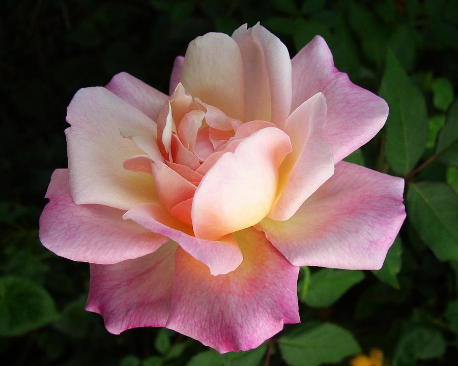 Rose Photograph - Blushing Beauty by Amy Davis