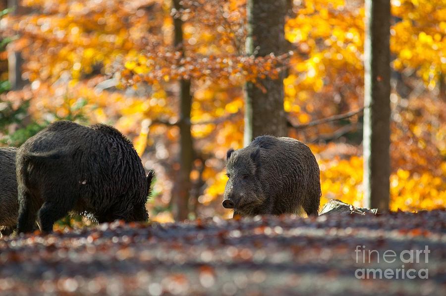 Baviera Photograph - Boar by Davide Marzotto