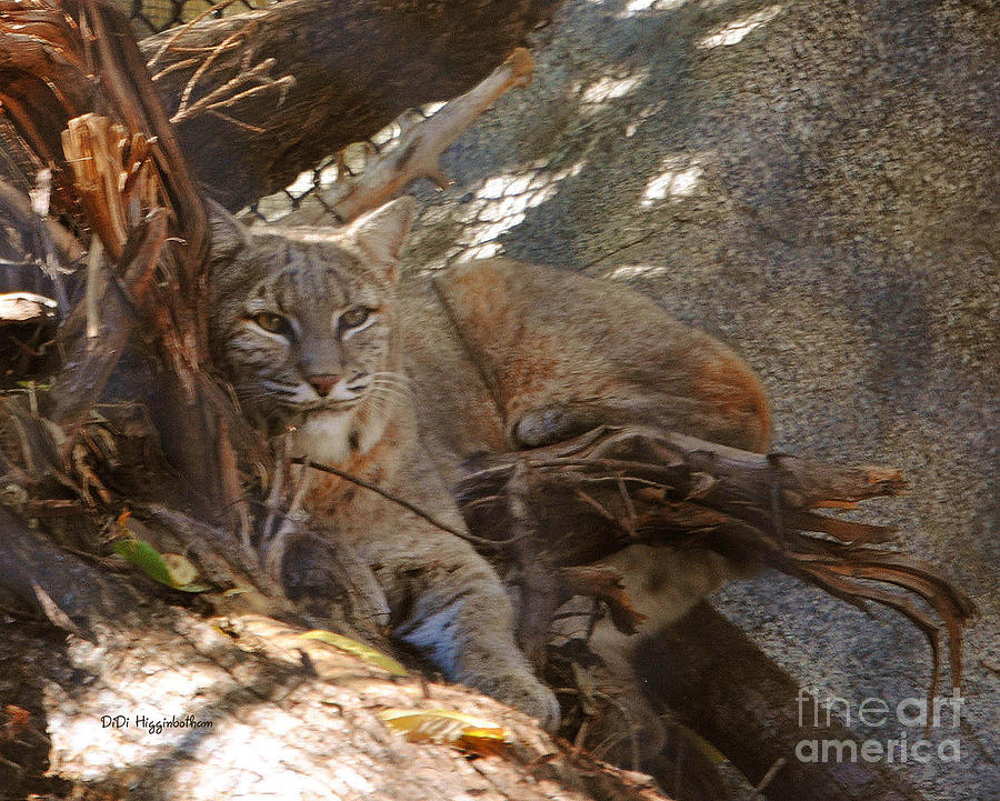 Bobcat Photograph - Bobcat by DiDi Higginbotham