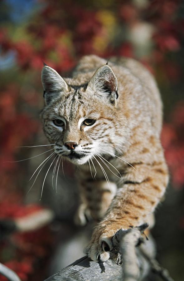 Attacking Photograph - Bobcat Felis Rufus by David Ponton