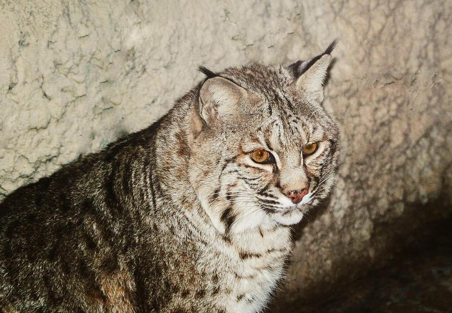 Bobcat Photograph - Bobcat Iv by DiDi Higginbotham