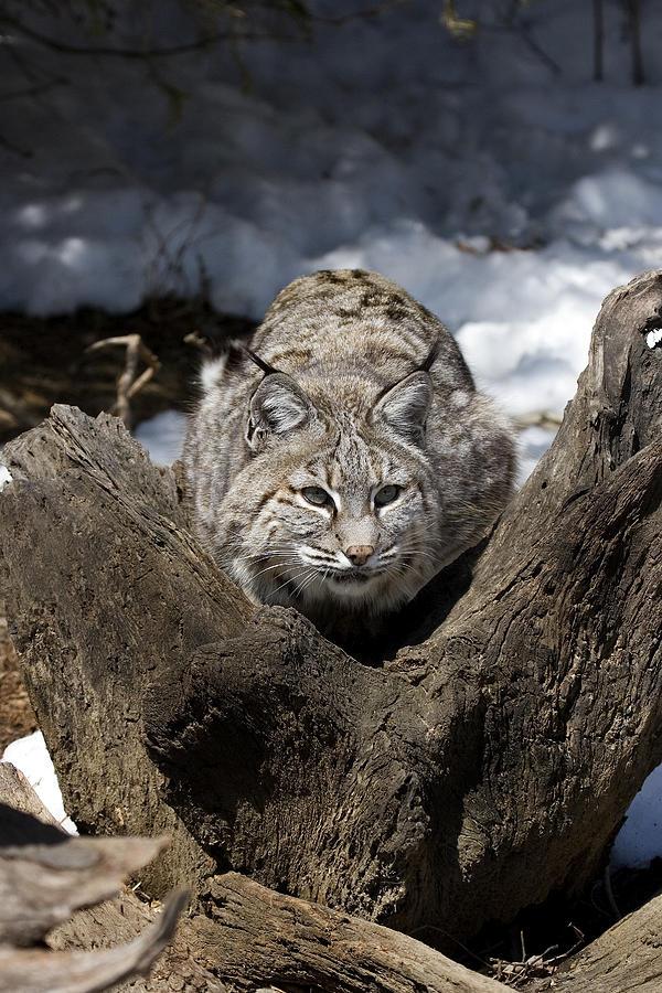 Bobcat Photograph - Bobcat  by Jeff Grabert