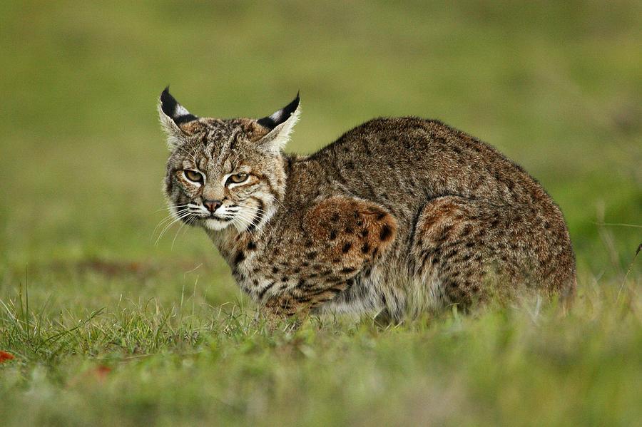 Animals Photograph - Bobcat Juvenile Santa Cruz California by Sebastian Kennerknecht