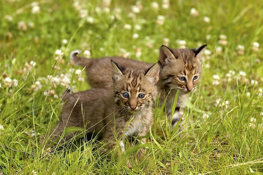 Outdoors Photograph - Bobcat Kittens by John Pitcher