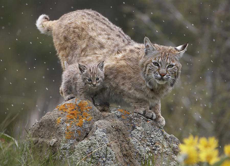 Adult Photograph - Bobcat Mother And Kitten In Snowfall by Tim Fitzharris