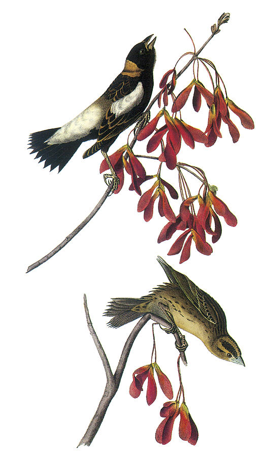 John James Audubon Painting - Bobolink by John James Audubon