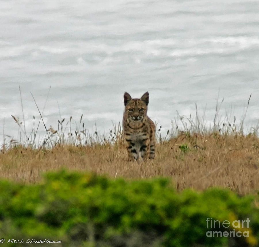 Bobcat Photograph - Bodega Bay Bobcat by Mitch Shindelbower