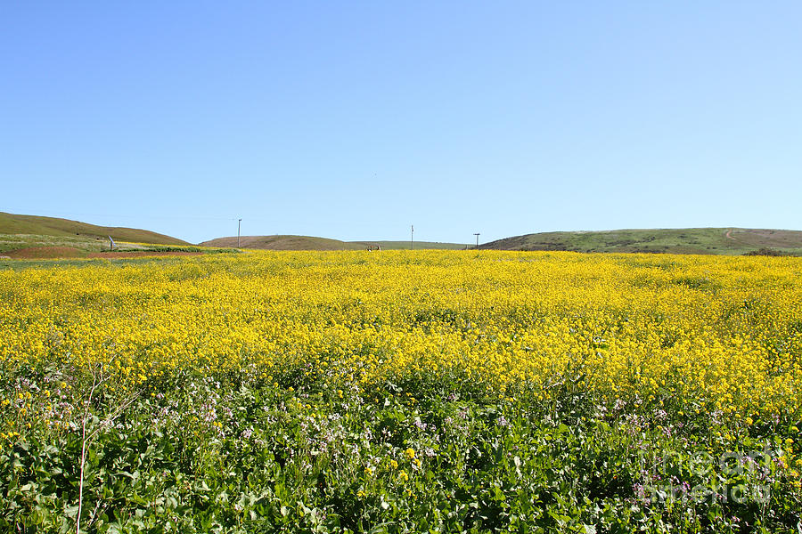 Landscape Photograph - Bodega Bay . Yellow Field . 7d12403 by Wingsdomain Art and Photography