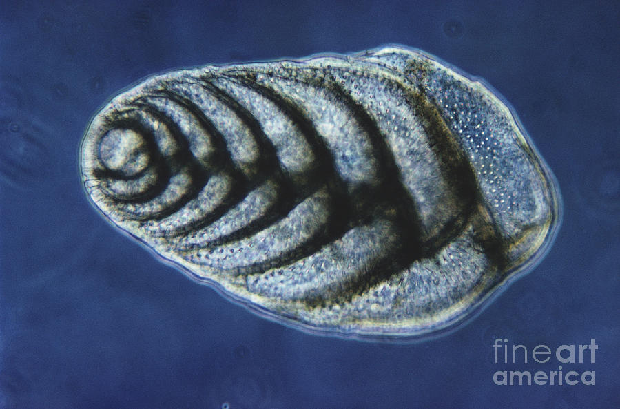 Science Photograph - Bolivina Robusta Lm by Eric V. Grave