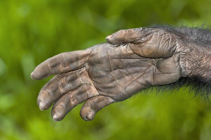 Bonobo Ape Hand Photograph By Tony Camacho