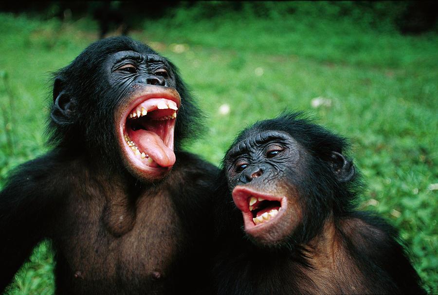 Mp Photograph - Bonobo Pan Paniscus Juvenile Pair by Cyril Ruoso