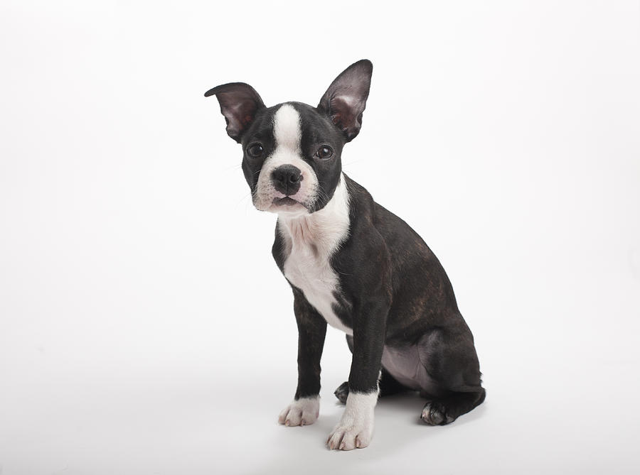 Boston Terrier Puppy On White Background By Chris Parsons