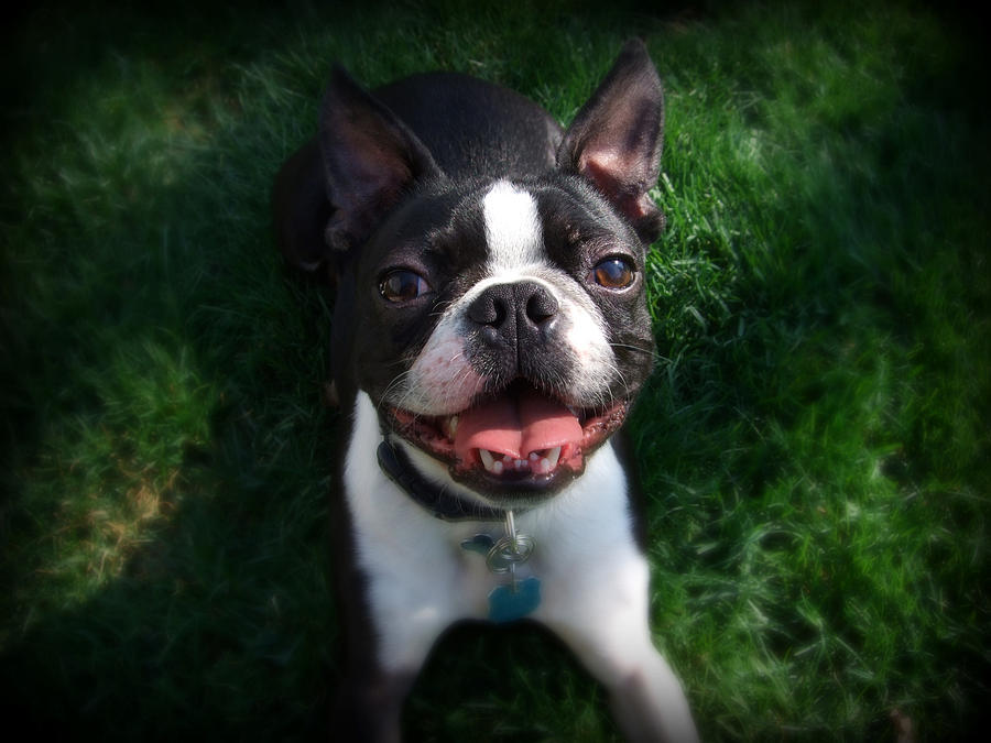 Boston Terrier Smile Photograph By Shatteredglass Photography