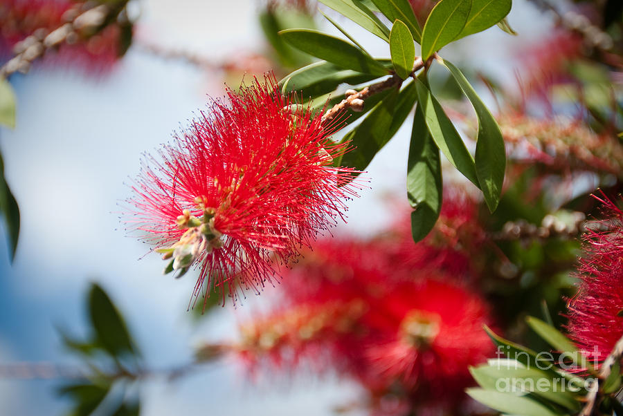 Christmas Photograph - Bottle Brush Tree by Yurix Sardinelly