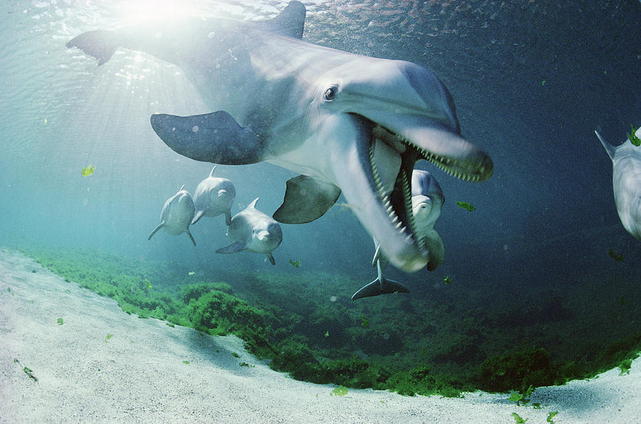 Amusing Photograph - Bottlenose Dolphin Underwater Hawaii by Flip Nicklin