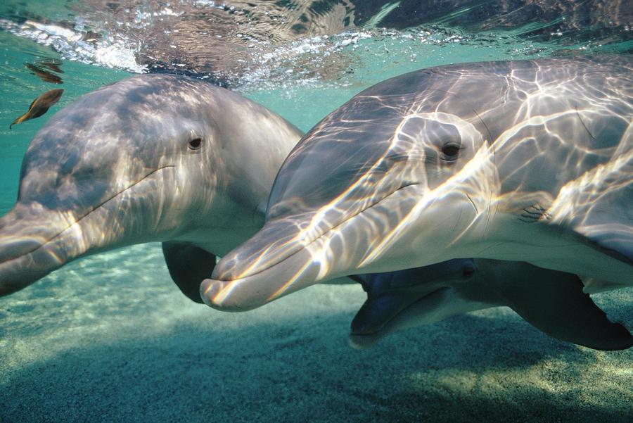 Bottlenose Dolphin Underwater Pair Photograph by Flip Nicklin